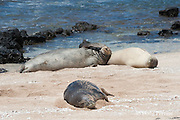Hawaiian monk seals, Monachus schauinslandi, Critically Endangered endemic species, west end of Molokai, Hawaii ( Central Pacific Ocean )