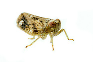 Issid Planthopper (Thionia bullata)<br /> United States: Alabama: Tuscaloosa Co.<br /> Tulip Tree Springs off Echola Rd.; Elrod<br /> 13-Oct-2017<br /> J.C. Abbott #3004