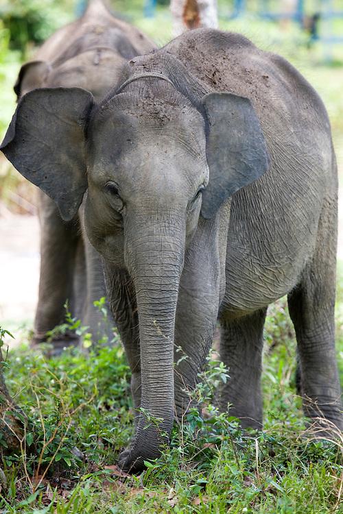 Training facility for Sumatran Elephants (Elephas maximus sumatrensis). The elephants are trained to interact and help control wild elephants that invade farms, Aug. 28, 2008..Daniel Beltra/Greenpeace