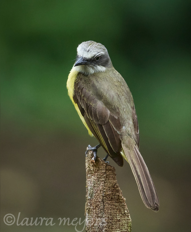 Gray-capped Flycatcher on post at the Selva Verde Lodge in Chilamate, Costa Rica