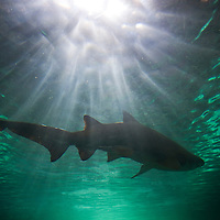 Australia, New South Wales, Sydney, Gray Nurse Shark (Carcharias taurus) swimming in tank at Sydney Aquarium