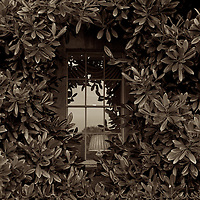 A elegant Georgian window hidden amongst rhodidendrum leaves