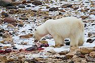 01874-12818 Polar bear (Ursus maritimus) eating Ringed Seal (Phoca hispida)  in winter, Churchill Wildlife Management Area, Churchill, MB Canada