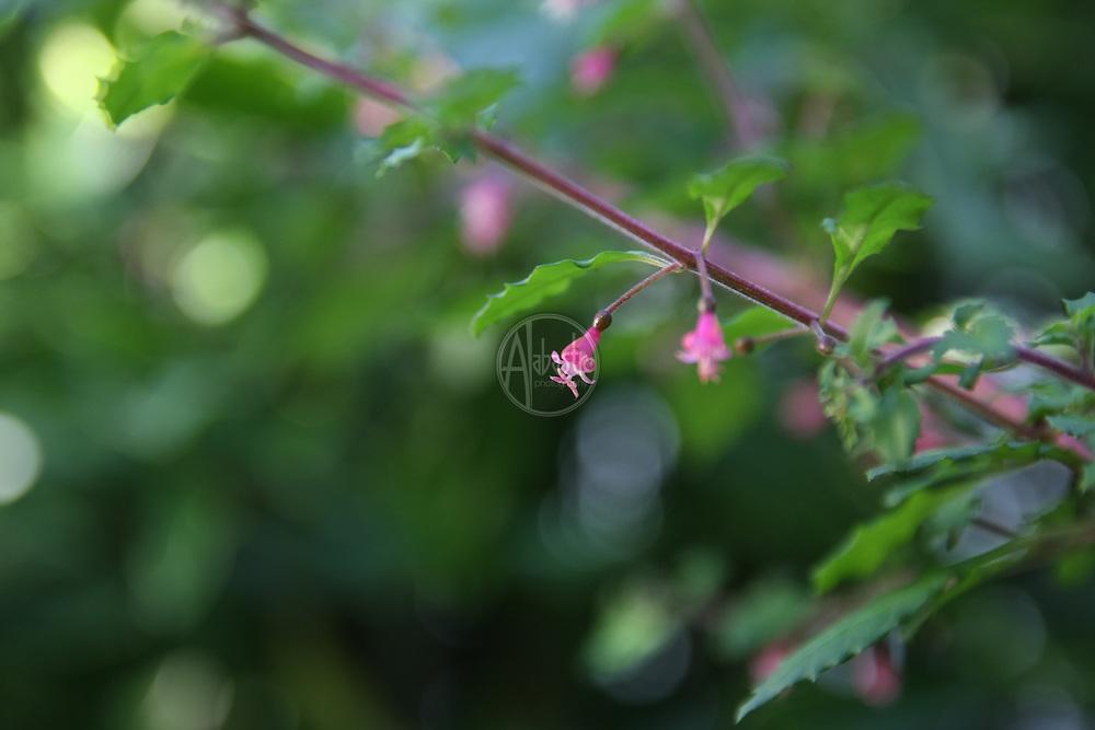 Flowers at home, July 2012. Fuchsia 'Tomarama'.