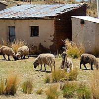 South America, Bolivia, Pariti. Sheep on farm of Pariti Island.