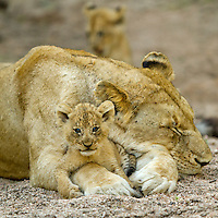 South Africa, Mpumalanga Province, Sabi Sands Game Reserve, Young Lion Cub (Panthera leo) plays with mother's paw while resting in dry river bed