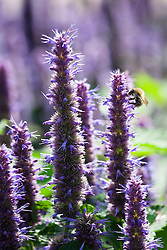 Bee on Agastache foeniculum syn. Agastache anethiodora. Blue giant hyssop, Anise hyssop