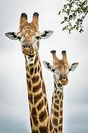 Giraffes, Mala Mala Game Reserve, South Africa / Jirafas, Reserva Mala Mala, Sudáfrica