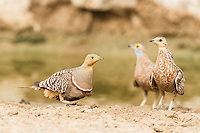 Male Namaqua Sandgrouse walking past Spotted Sandgrouse, Kgalagadi Transfrontier Park, Northern Cape, South Africa