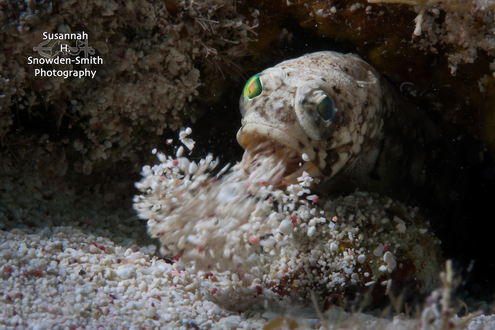 """House Cleaning"" - A banded jawfish expels sand from it's home.  Grand Cayman"