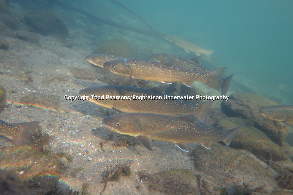 Group of Bull Trout<br /> <br /> Todd Pearsons/Engbretson Underwater Photography