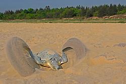 olive ridley sea turtle, Lepidochelys olivacea, vulnerable species, digging nest for laying eggs, Padampeta Beach, Rushikulya Rookery, Ganjam Coast, Odisha, India, Indian Ocean