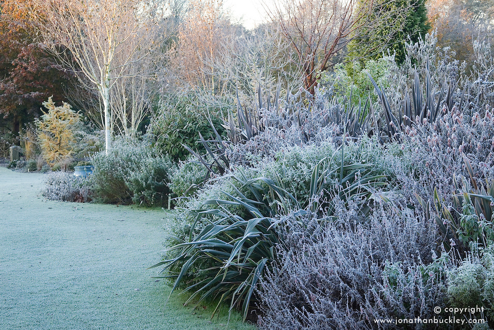 Looking along the salvia bed on a frosty winter's morning with phormiums and silver birch - Betula utilis var. jacquemontii. Design: John Massey, Ashwood Nurseries