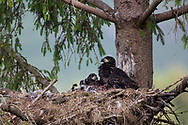 White Tailed Eagle (Haliaeetus albicilla) pair of chicks in nest in large conifer tree with foot of sea bird visible