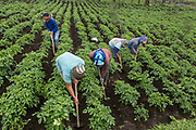 Workers from madura doing weed control in potatoes field in Bromo, Probolinggo, East Java, Indonesia. Most workers came from Madura.