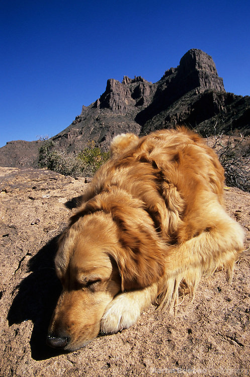 Sleeping golden retriever in the Superstition Mountains, Tonto National Forest, Arizona