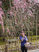 Japan, Honshu, Kyoto, Kinkakuji local woman admires the blossoms