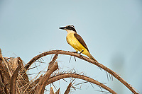 Great Kiskadee (Pitangus sulphuratus), Araras Ecolodge,  Mato Grosso, Brazil (Photo: Peter Llewellyn)