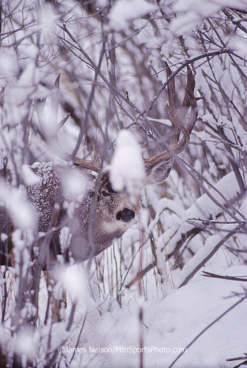 12-1296. A mule deer buck with large antlers finds cover in snowy brush in the Rocky Mountains of Colorado.