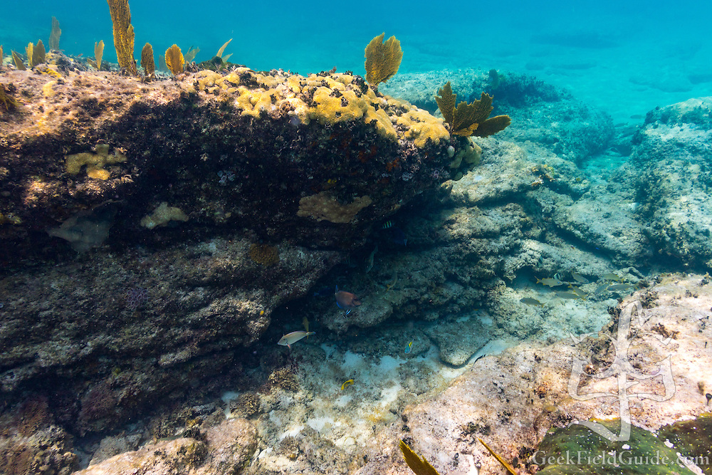 More surgeonfish, grunts, and sergeant majors nestled into the reef