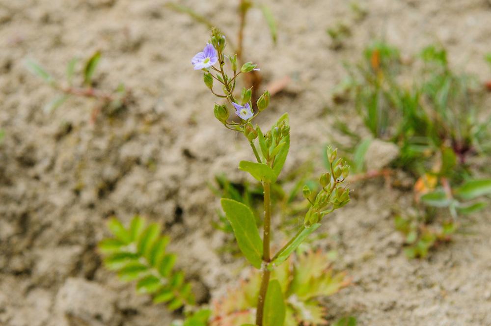 Blauwe waterereprijs, Veronica anagallis-aquatica