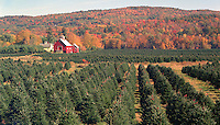 Christmas tree farm along the Connecticut River near Ascutney, VT