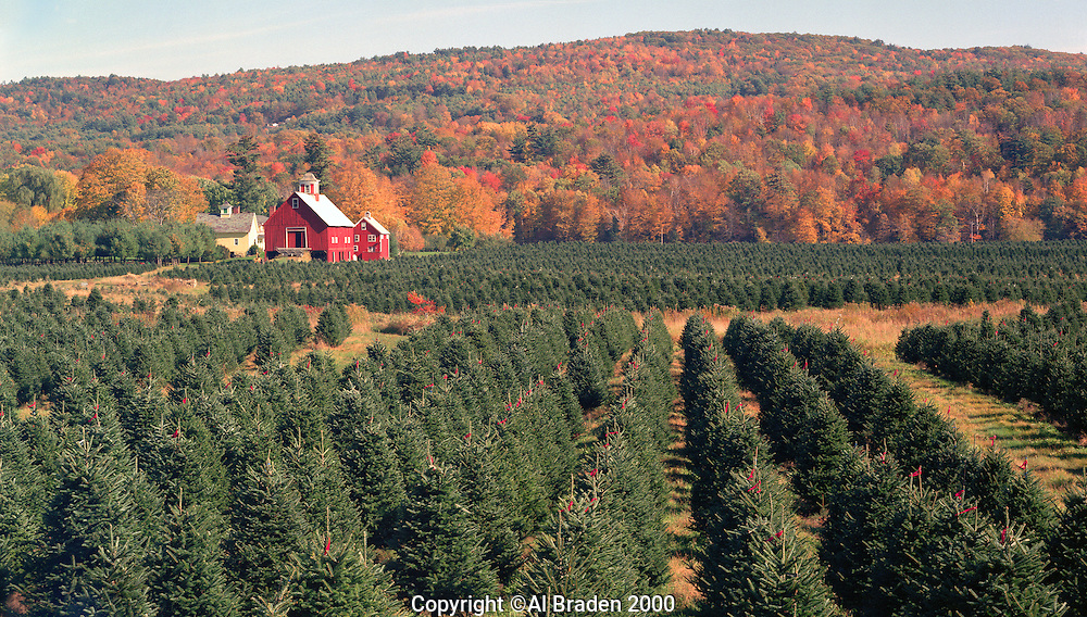 Christmas Tree Farm Along The Connecticut River Near