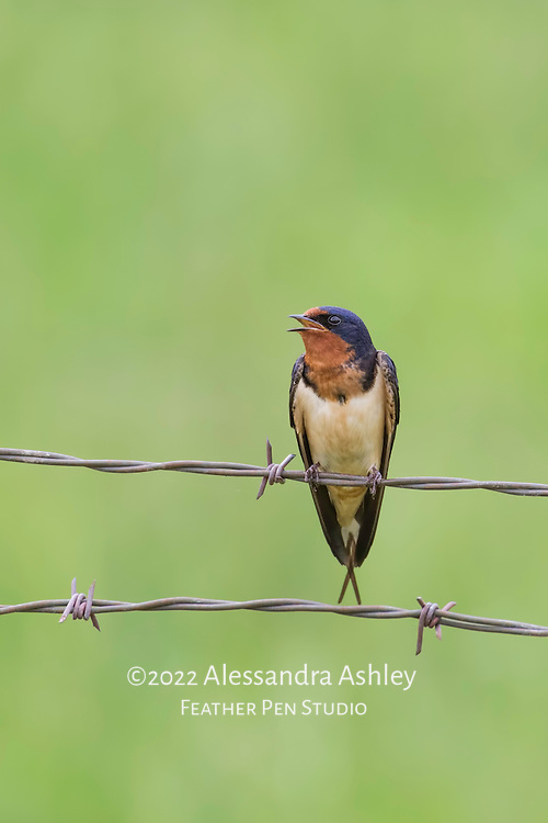 Barn swallow (Hirundo rustica) sings while perched on wire fence in farm environment.