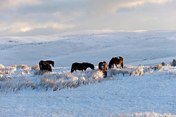 © Licensed to London News Pictures. 28/02/2017. Mynydd Epynt, Powys, Wales, UK. Welsh ponies are seen foraging in the snow in a wintry landscape on the high moorland of the Mynydd Epynt range between Builth Wells and Brecon in Powys, Wales, UK after about 6cm of snow fell last night. Photo credit: Graham M. Lawrence/LNP