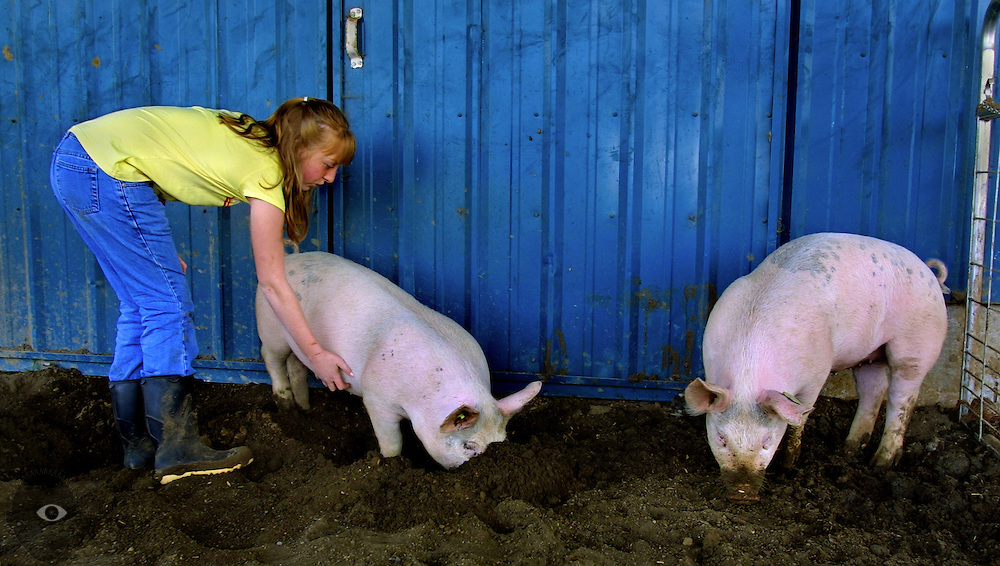 Stephanie Brentano, 12, of St. Paul, Oregon, works hard to make her show pigs comfortable to the touch. The fair is this summer and scratching and petting them now will make it easier to control them then.
