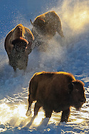 American Bison (Buffalo) run in winter Habitat
