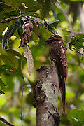 Long-tailed Potoo (Nyctibius aethereus)<br /> Surama<br /> Rainforest<br /> GUYANA. South America<br /> RANGE: Brazil, Venezuela, Guyana, Colombia, Ecuador, Peru, Bolivia, and Paraguay; also in Argentina
