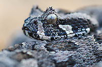 Southern Adder, De Hoop Nature Reserve & Marine Protected Area, Western Cape, South Africa