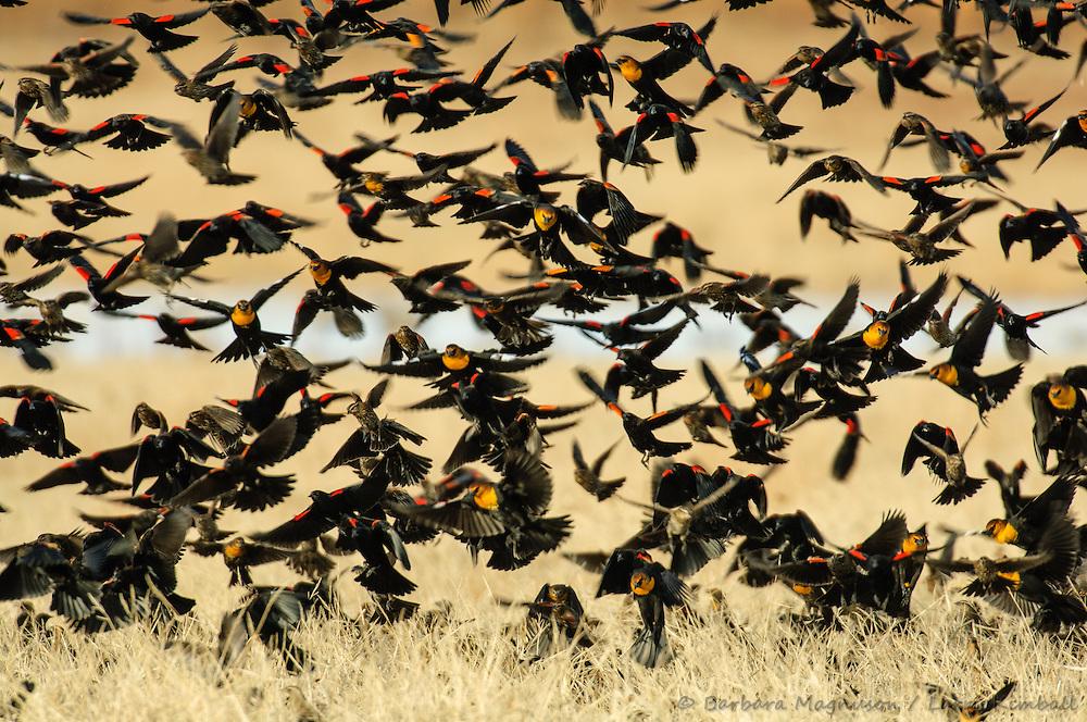 Red-winged Blackbirds [Agelaius phoeniceus] in flight, feeding; Bosque del Apache NWR., NM