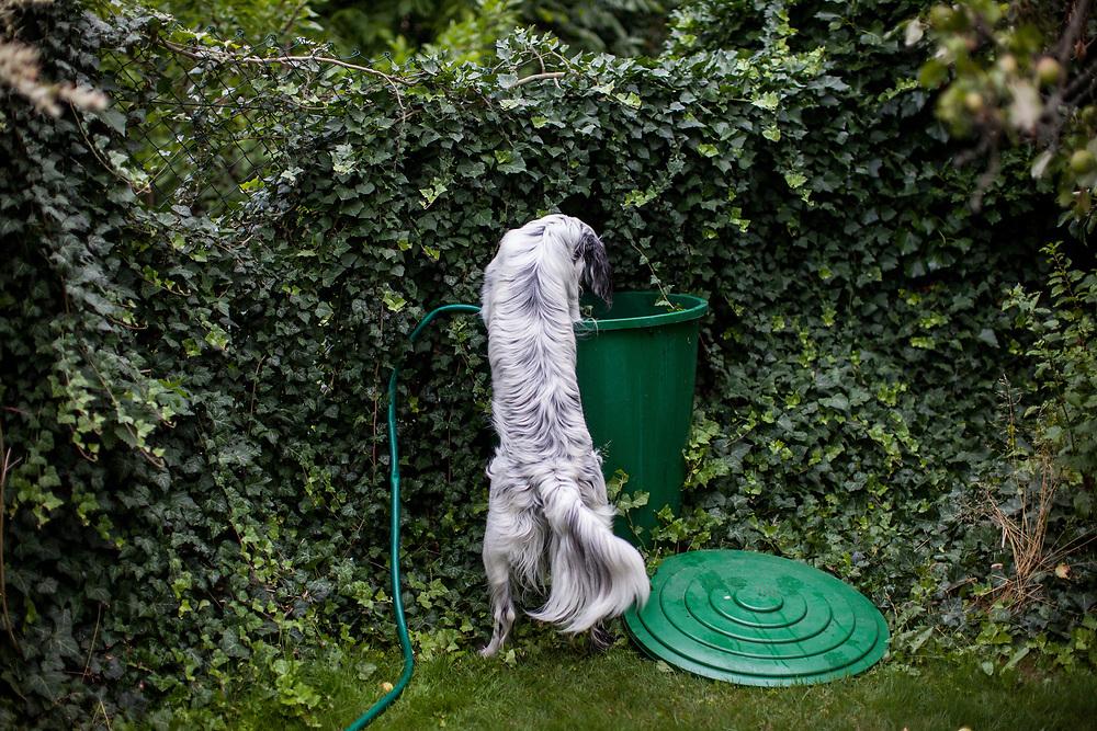 """English Setter """"Rudy"""" kontrolliert am 24.06. 2018  die Wassertonne im Garten in Lysa nad Labem (Tschechische Republik). Rudy wurde Anfang Januar 2017 geboren."""