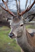Deer farming Røros - Torsvoll Hjort