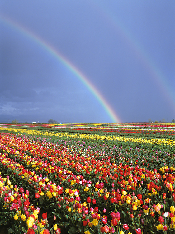 Rainbow over field of tulips; Wooden Shoe Tulip Farm, Mount Angel, Oregon.