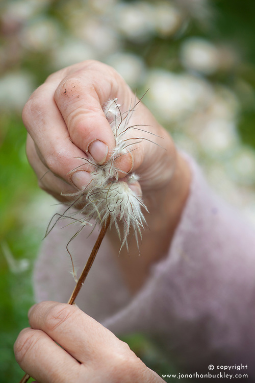 Collecting seed of Pulsatilla vulgaris