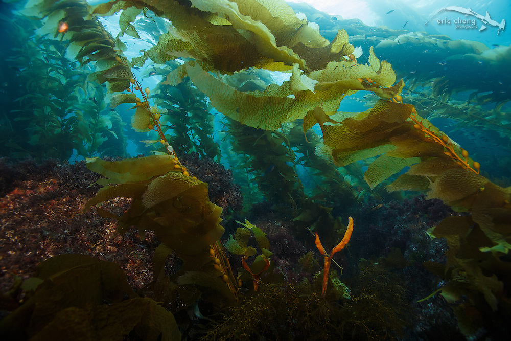 Lush kelp forest at Eagle Reef, Catalina, Channel Islands, California