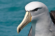 Salvin's Albatross, Kaikoura, New Zealand