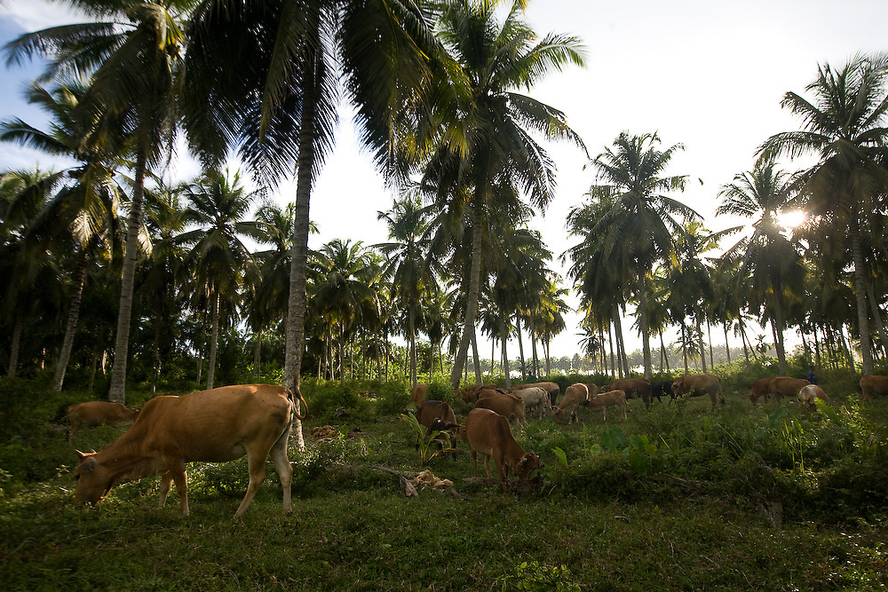 Kuala Trang Village near Meulaboh - Aceh, Indonesia  Nov. 2008. (Heifer Participant)  The Kuala Trang herd of cattle. grazes under cocnut trees near the  coast. The Tsunami reached as high as the trees in the foreground.