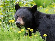 Black Bear (Ursus americanus) sow lounges in the summer sunlight eating dandelion flowers, Arctic Valley.
