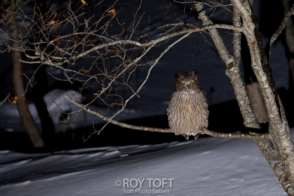 A Blakiston's fish owl in sitting on tree branch.