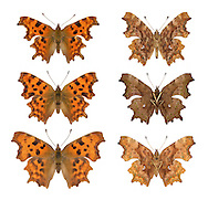 Comma - Polygonia c album - male (top row) - female (middle row) - form hutchinsoni (bottom row; left=female, right=male). Wingspan 45mm. Unmistakable butterfly with ragged-edged wing margins. Adult has orange-brown upperwings marked with dark spots; grey-brown underwings show a white 'comma' mark. Double-brooded and hibernates: seen on the wing March–April, and again August-October. Larva has tufts of spiny hairs and is orange-brown with a white dorsal band; feeds on Common Nettle, elms and Hop. Locally fairly common in England and Wales.