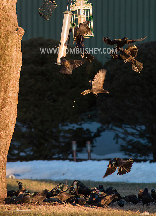 Common grackles  crowd around a bird feeder in Wawayanda, New York, on March 19, 2015.