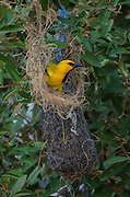 Yellow Oriole (Icterus nigrogularis) nest building<br /> BONAIRE, Netherlands Antilles, Caribbean<br /> HABITAT & DISTRIBUTION: Open woodland, scrub and gardens. Colombia, Venezuela, Trinidad, the Guianas and parts of northern Brazil and Bonaire.