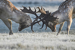 © Licensed to London News Pictures. 28/10/2019. London, UK. Two deer stags rutting in a frost covered field, on a bright winter morning in Richmond Park, London. The UK is due to see brighter weather over the next few days, following days of heavy rain which caused flooding in parts. Photo credit: Ben Cawthra/LNP