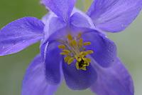 European columbine; Aquilegia vulgaris, Pal, Andorra
