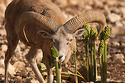 Israel, Hai Bar animal sanctuary, male wild sheep, Ovis aries