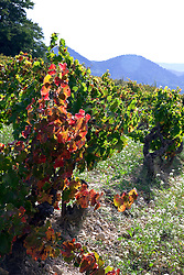 Typical of many vineyards in Provence, this one is along the D875 road between Vaison-la Romaine and Orange inthe Vaucluse department of Provence, in  Southern France.